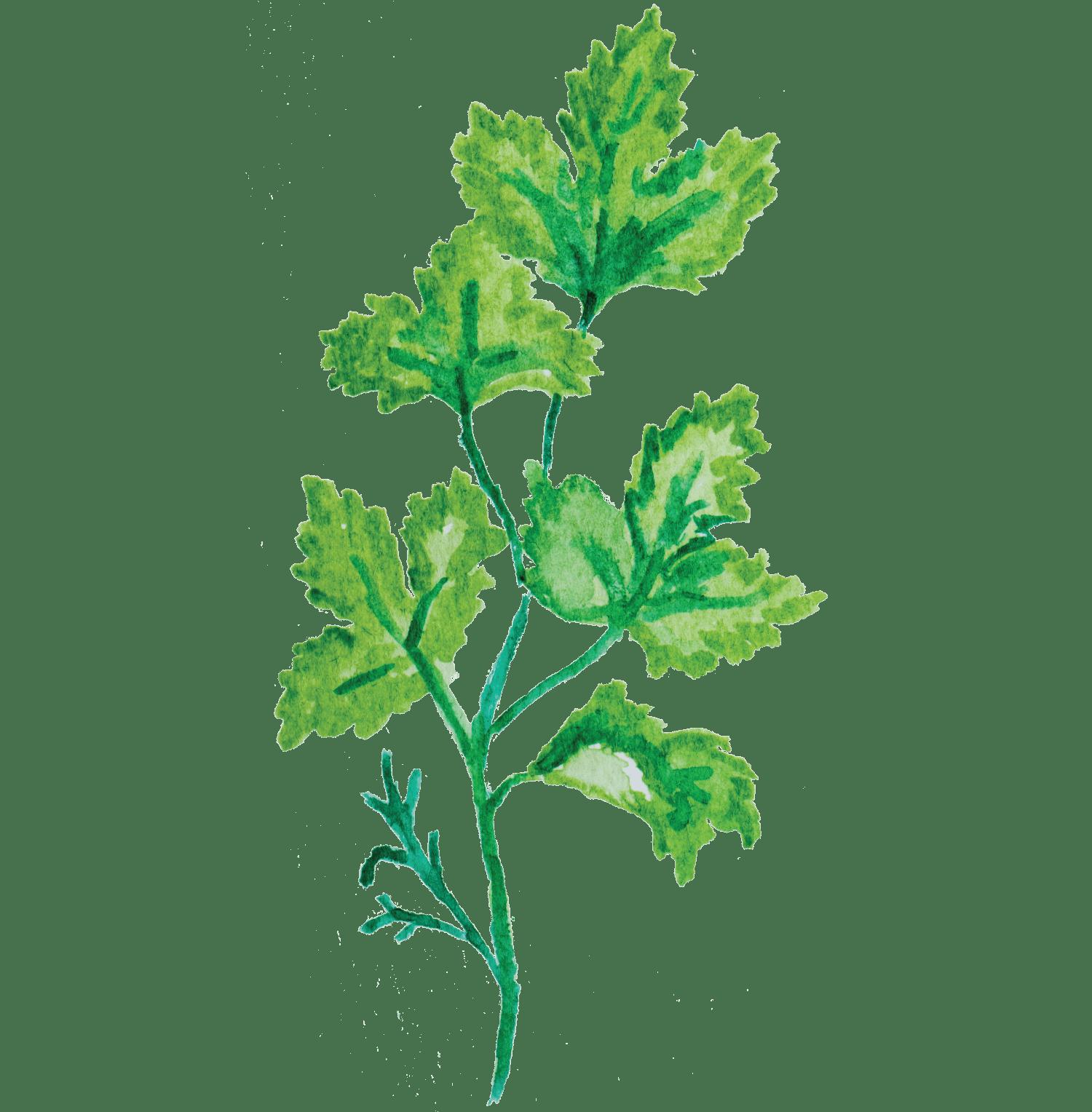 Sopa de lentilhas verdes com coentros